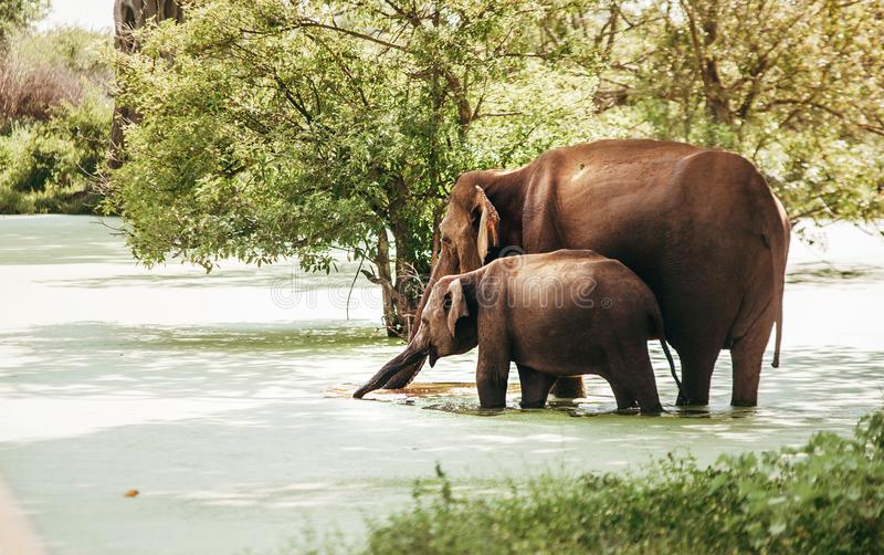 Mother and baby elefants drink water from marshy pond in national nature park Udawalawe, Sri Lanka royalty free stock image