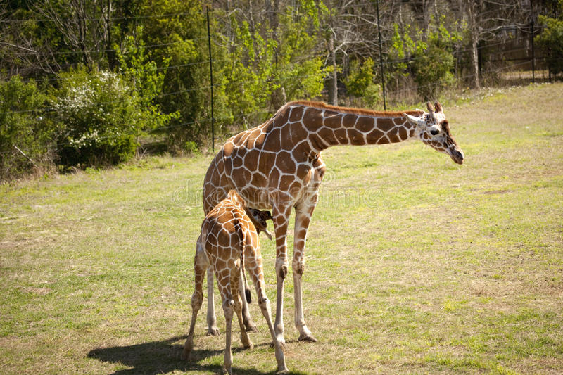 Download Mother and baby giraffe stock photo. Image of head, giraffes - 14545236