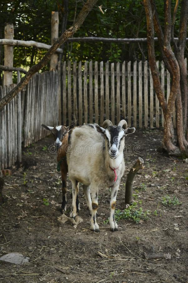 Female goat with horns and young goat in traditional barn royalty free stock photo