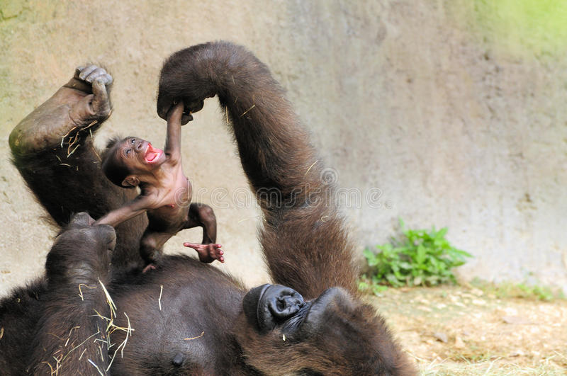 Mother & Baby Gorilla. Female lowland gorilla examining her two-day-old baby in Zoo Miami, South Florida. The baby was born June 19, 2011 and the image was made stock images