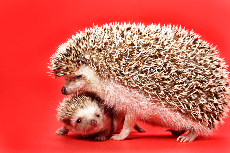 Mother and baby hedgehog. Red background royalty free stock photography