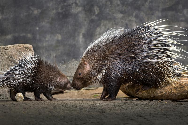 Mother and baby hedgehog Hystrix brachyura. Mother and baby hedgehog Hystrix brachyurain the natural atmosphere stock images