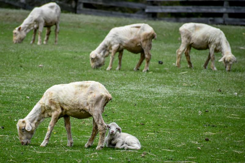 Mother and Baby Lamb Eating in Pasture stock photos