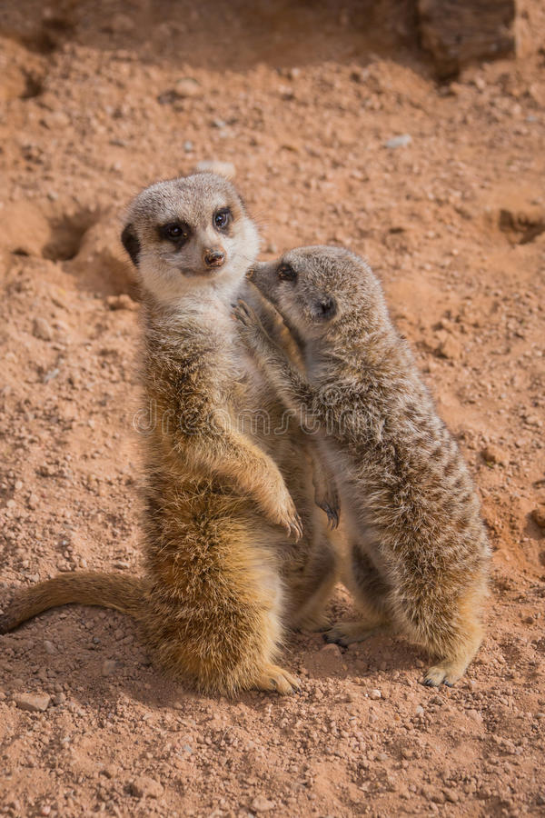 Mother and baby meerkats hugging royalty free stock photography