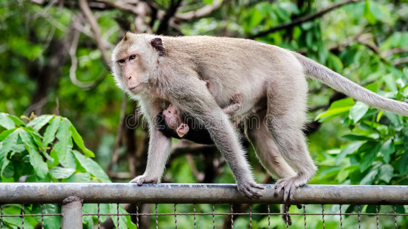 Mother and baby monkey on metal french stock images