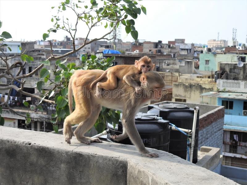 Mother and baby monkey in old Delhi India stock images