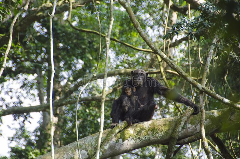 Mother and baby monkey spotted during chimp trekking in Kyambura Gorge. Kyambura Gorge is part of the Queen Elizabeth National Park QENP in Uganda. It is home to royalty free stock image