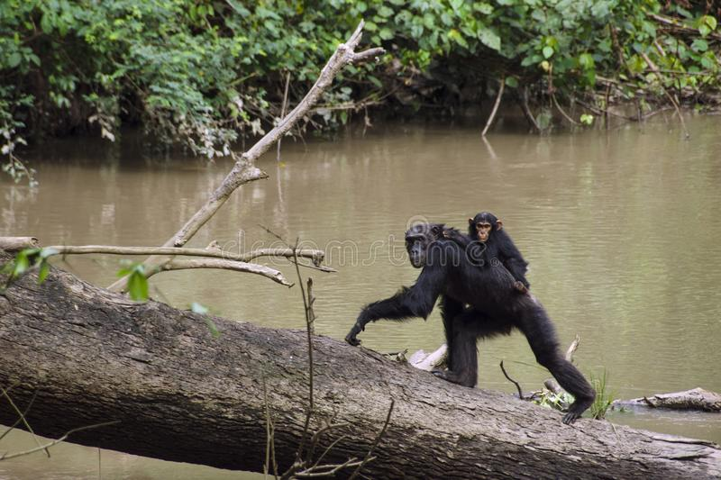 Mother and baby monkey spotted during chimp trekking in Kyambura Gorge. Kyambura Gorge is part of the Queen Elizabeth National Park QENP in Uganda. It is home to royalty free stock photo