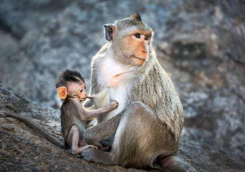 Mother and baby monkeys in the wild. royalty free stock photography