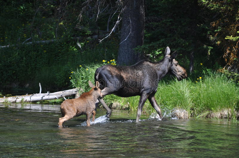 Mother and baby moose crossing river royalty free stock photography