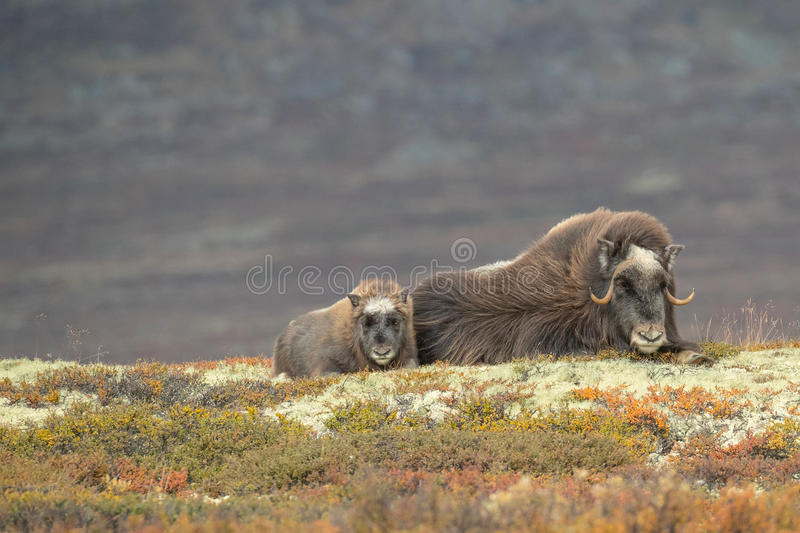 Mother and Baby Musk Ox royalty free stock photography