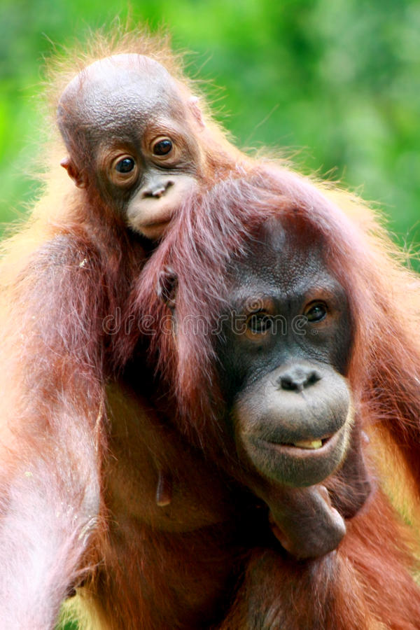Download Mother and baby Orang utan stock image. Image of child - 11257001