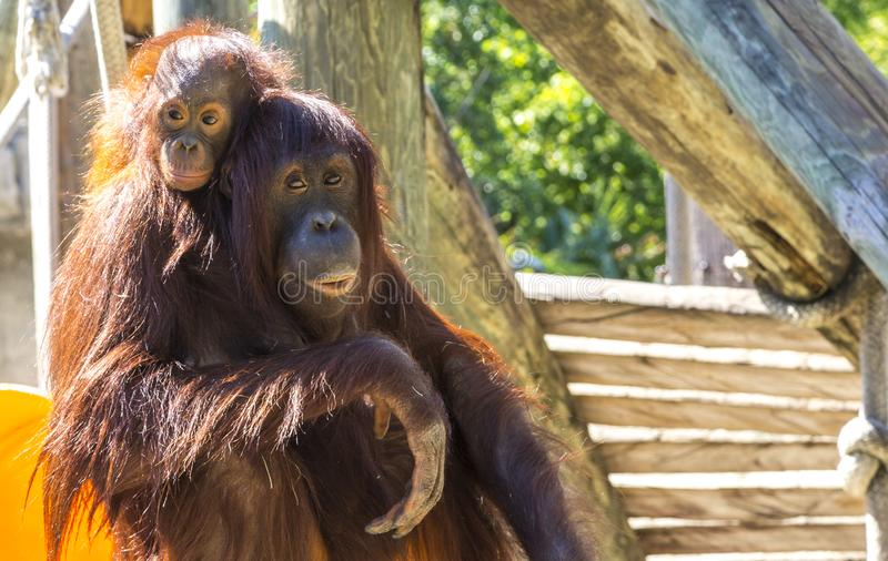 Mother and baby orangutan royalty free stock photo
