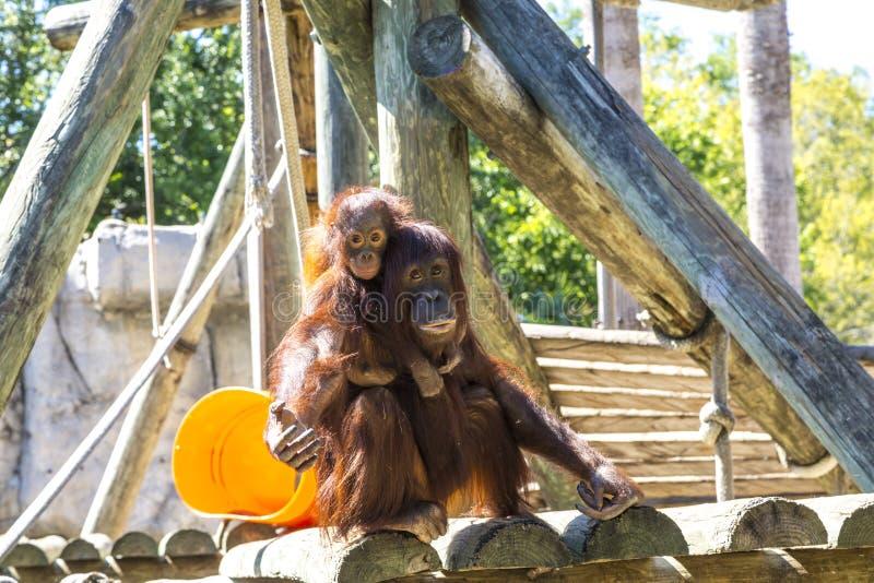 Mother and baby orangutan stock photos