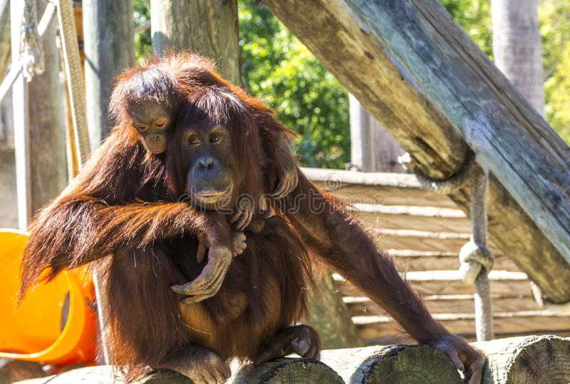Mother and baby orangutan royalty free stock images