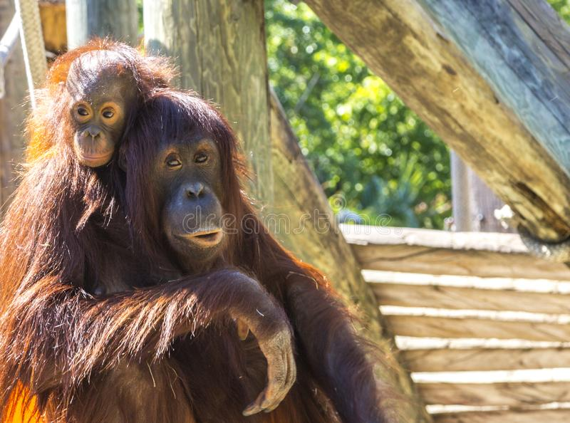 Mother and baby orangutan royalty free stock image