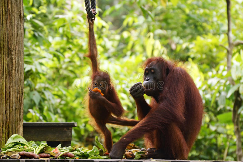 Mother and baby orangutans rehabilitation Borneo, Malaysia. A young female mother orangutan and her very cute baby orangutan eating fresh fruit and vegetables