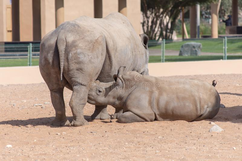 A mother and baby rhinoceros nursing in the sand in the desert. Ceratotherium simum.  royalty free stock photos