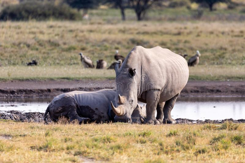 Baby of white rhinoceros Botswana, Africa. Mother with baby of white rhinoceros Khama Rhino Sanctuary reservation, endangered species of rhino, Botswana wildlife royalty free stock images