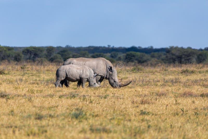 Baby of white rhinoceros Botswana, Africa. Mother with baby of white rhinoceros Khama Rhino Sanctuary reservation, endangered species of rhino, Botswana wildlife stock images