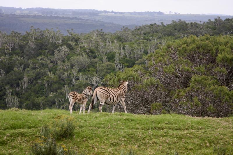 Mother and baby zebras run on green valley stock photos