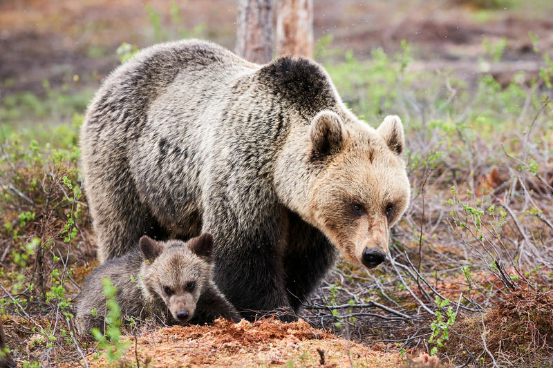 Mother bear and cub stock images