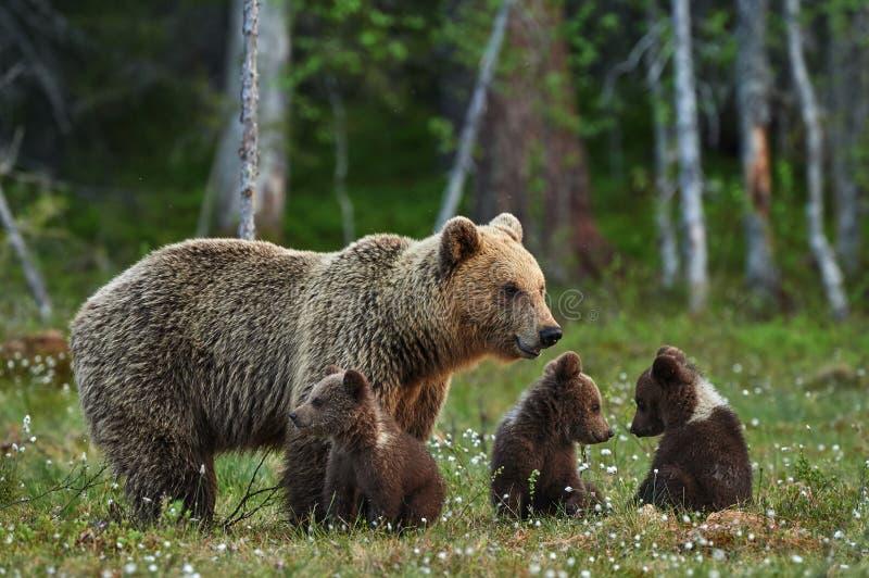 Mother bear and cubs royalty free stock photos
