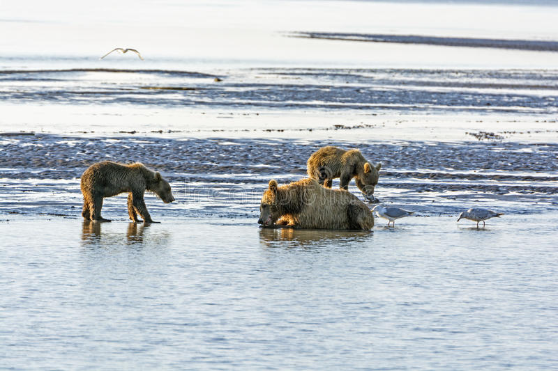 Mother Bear and Cubs on a Tidal Flat. In Hallo Bay in Katmai National Park in Alaska royalty free stock image
