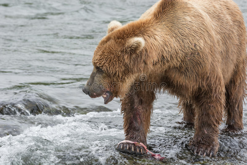 Mother Bear eats the blubber of a salmon she has just caught at. In the air at the top of a waterfall. Brook Falls, Katmai National Park, Alaska royalty free stock image