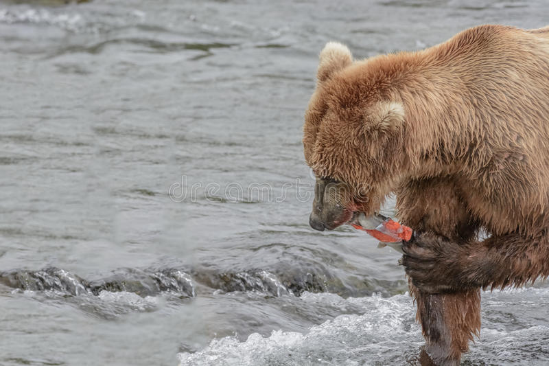 Mother Bear eats the blubber of a salmon she has just caught at the top of a waterfall - Brook Falls - Alaska. Mother Bear eats the blubber of a salmon she has royalty free stock photos