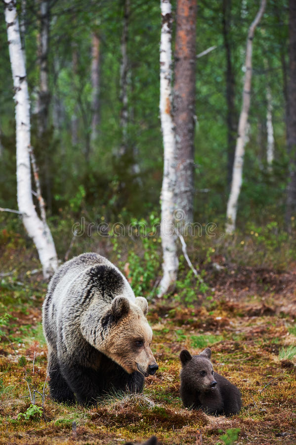 Mother bear with her cub stock image