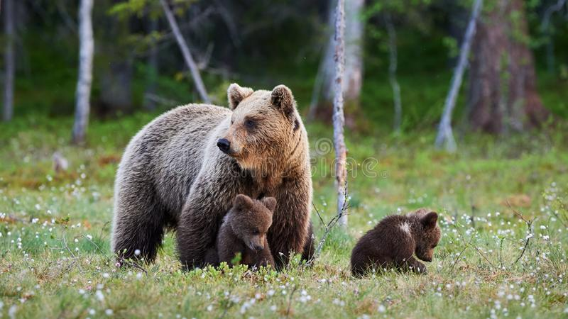 Mother bear and her three little puppies royalty free stock photo