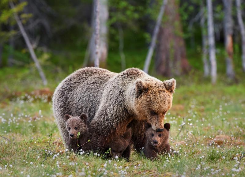 Mother bear and her three little puppies stock photo