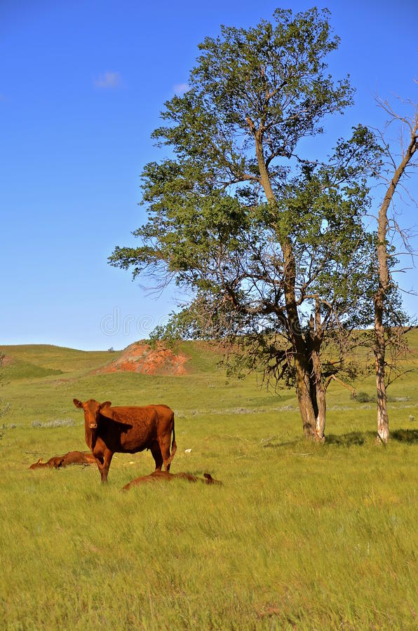 Mother beef cow and two sleeping calves royalty free stock photography