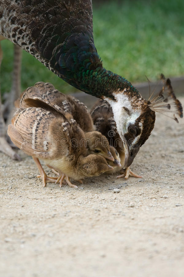 Mother bird peacock is feeding her nestlings royalty free stock photo