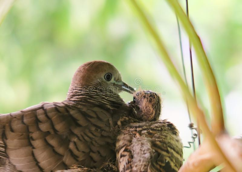 Mother bird sitting in the nest with her  baby birds, close up,blur background. Mother bird sitting close to the newborn bird in the nest ,selective focus, blur royalty free stock images