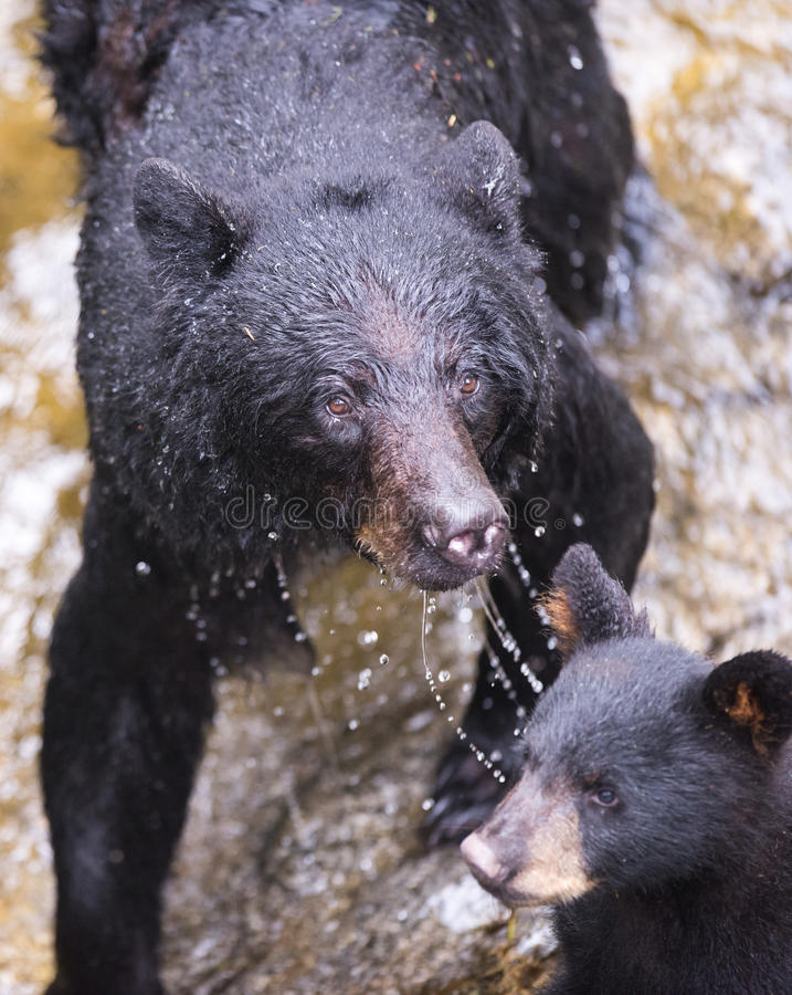 Mother black bear and cub (coy). A mother black bear emerges from a river without a fish and looks at photographer, her cub is in front of her royalty free stock images
