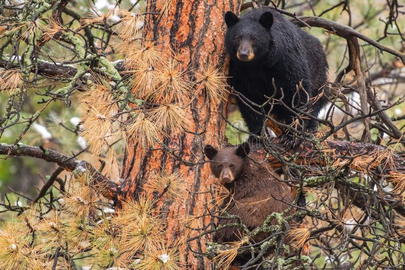 A Mother Black Bear Sow and Her COY Cub in a Pine Tree. A Mother Black Bear and Her Brown Cub Cautiously Observe Nearby Activity royalty free stock image