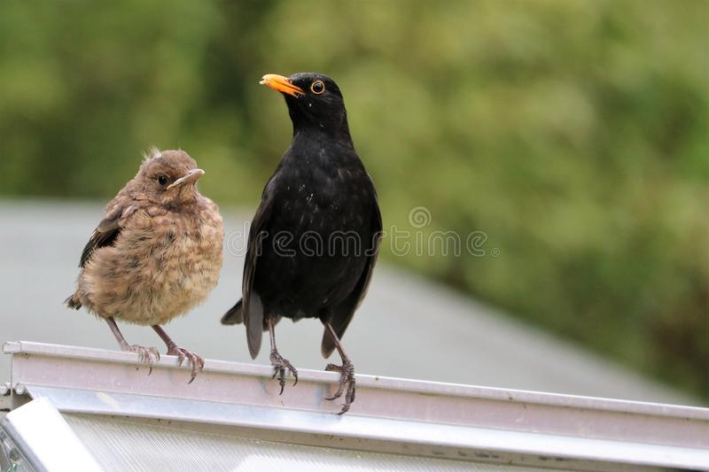 Mother Blackbird and Fledgling royalty free stock photos