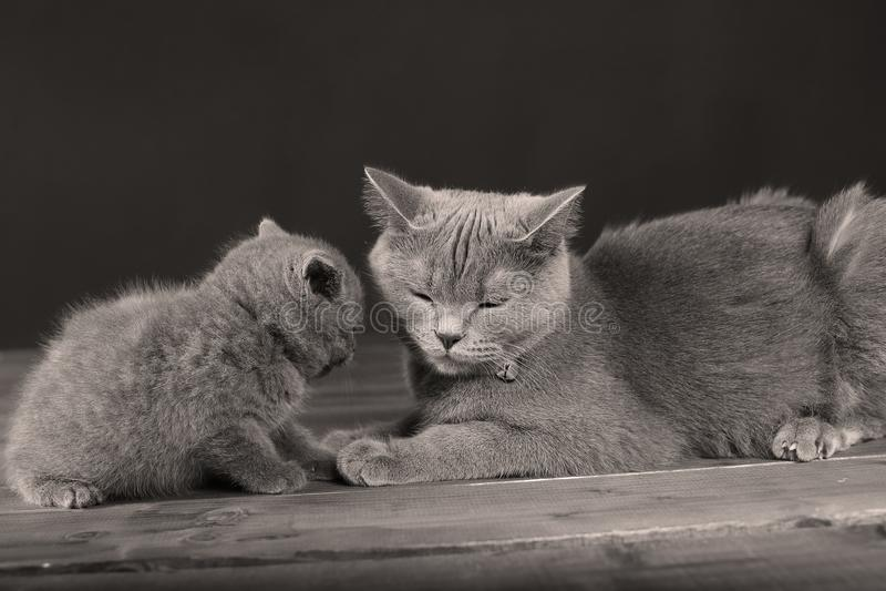 British Shorthair cat and kitten, portrait royalty free stock image