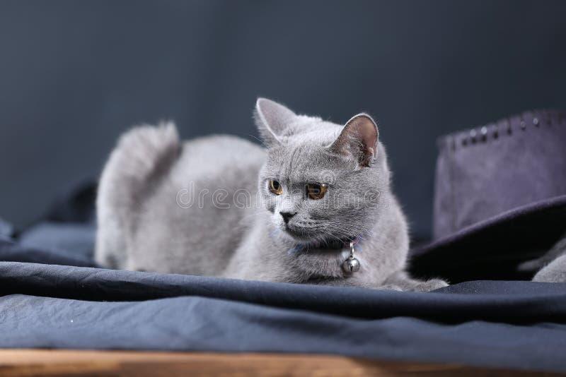 British Shorthair cat portrait,. Mother British Shorthair cat portrait against black background stock photography