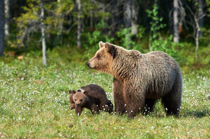 Mother brown bear Ursus arctos and her cubs stock photo