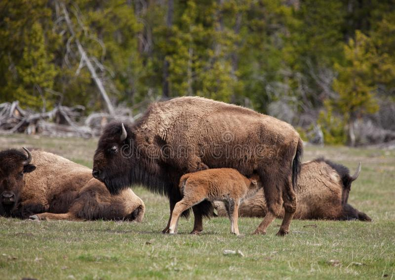A mother buffalo nurses her baby royalty free stock photography