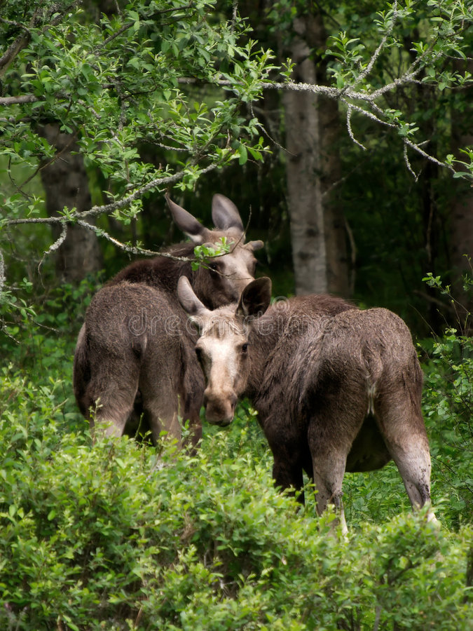 Mother and calf royalty free stock photo
