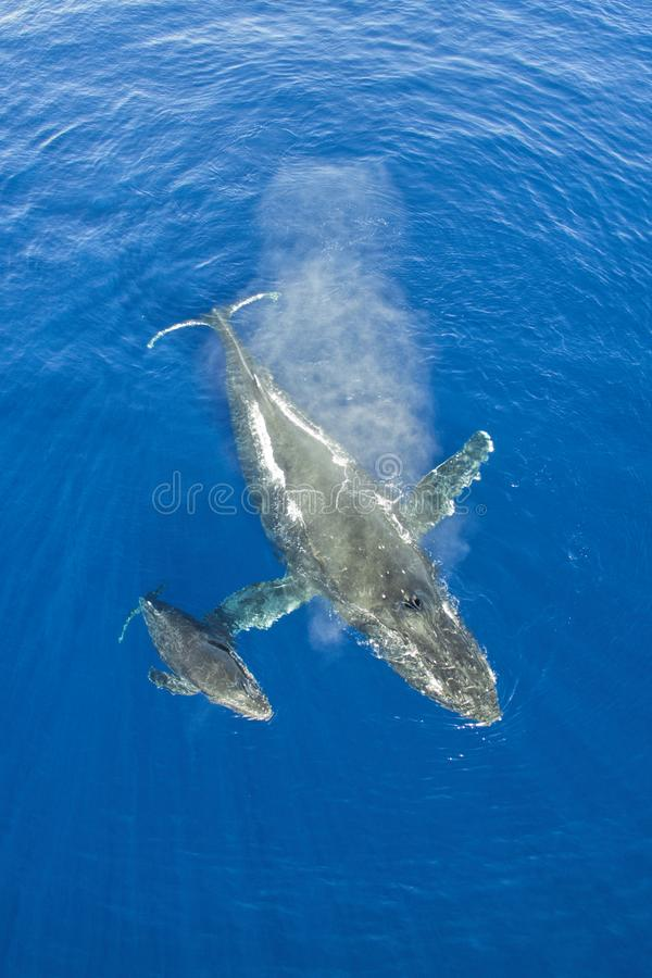 Mother and calf humpback whales stock image