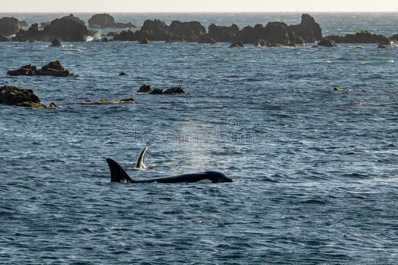 Mother and calf Orca Killer whales, Wellington, New Zealand. Orca swimming around Wellington New Zealand, part of family pod traveling the region stock photo