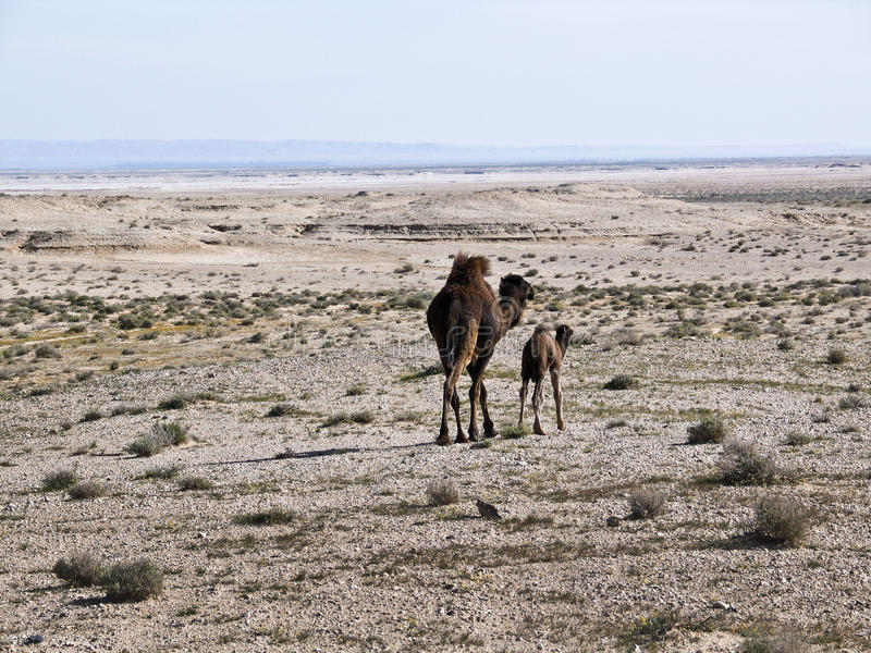 Download A Mother Camel With Her Baby In A Desert, Stock Image - Image of mother, deserted: 22704331