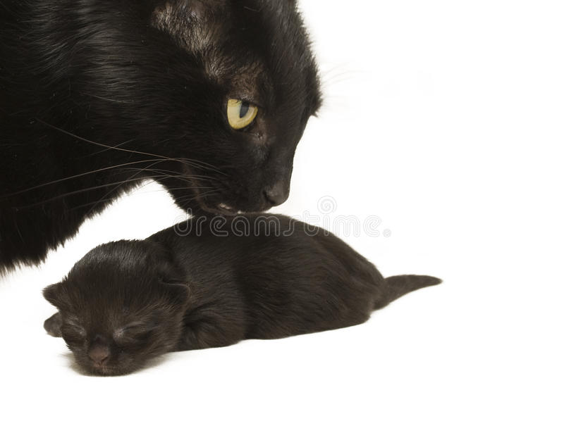 Mother Cat and Baby Kitten stock photography