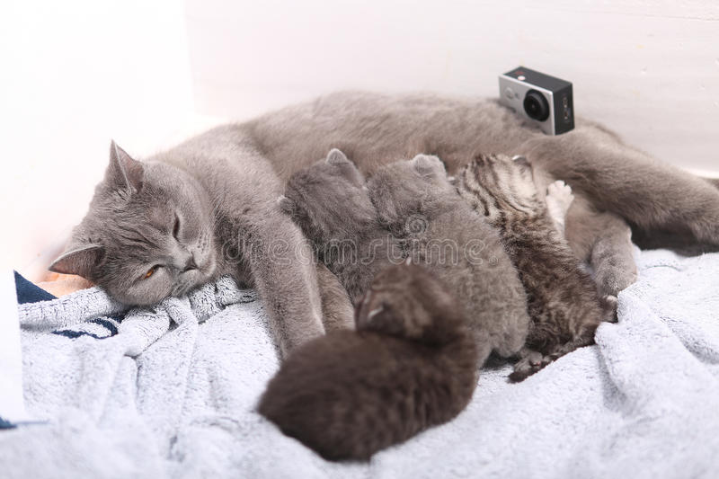 Mother cat breastfeeding her babies, action camera on scene stock images