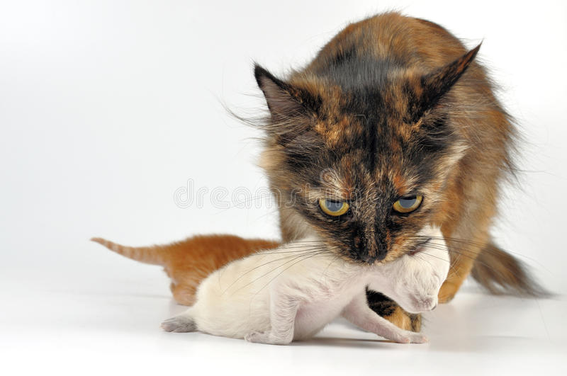 Mother cat carrying newborn kitten. MOther cat with newborn kitten in her mouth. Studio shot stock images